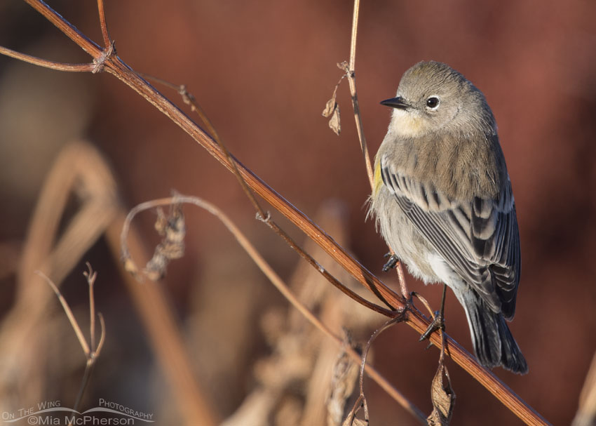 Autumn Yellow-rumped Warbler