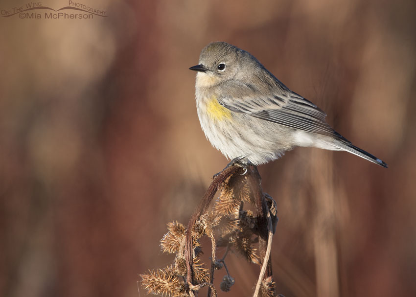Yellow-rumped Warbler perched on burs in front of curly dock
