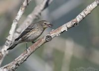 Yellow-rumped Warbler with prey