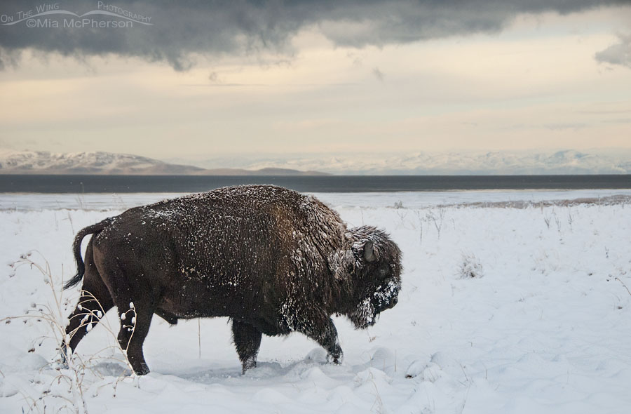 Snow-covered American Bison trudging through snow