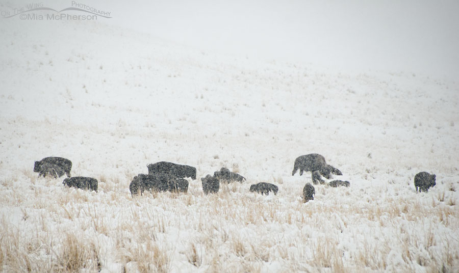 American Bison herd in a November blizzard