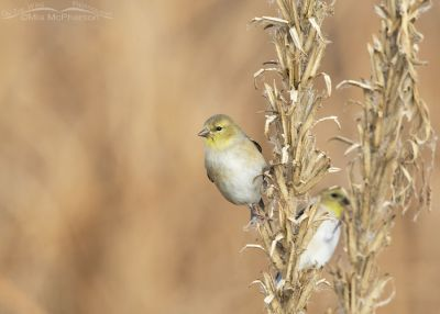 American Goldfinches at Bear River MBR