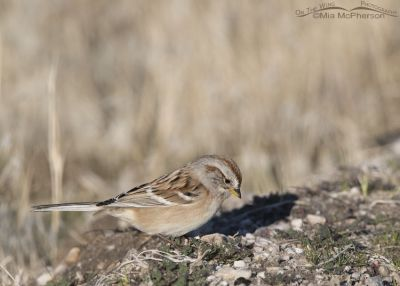 Foraging American Tree Sparrow