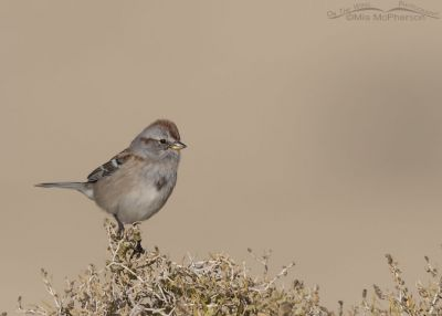 American Tree Sparrow on Greasewood