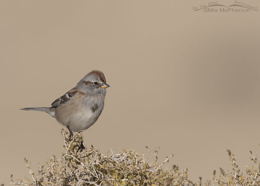 American Tree Sparrow on Greasewood