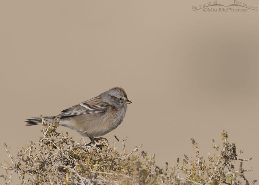 American Tree Sparrow in northern Utah
