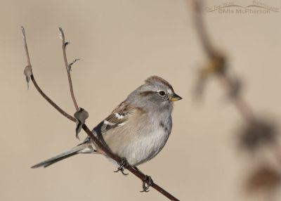 Antelope Island American Tree Sparrow