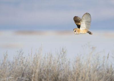 Winter Barn Owl in flight over the marsh at Bear River MBR
