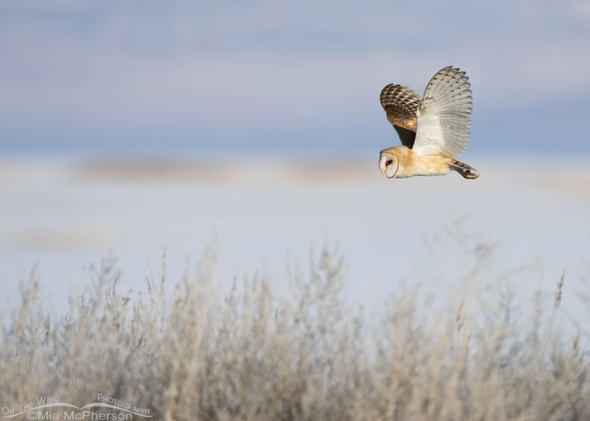 Winter Barn Owl in flight over the marsh at Bear River MBR