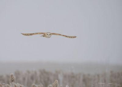 Foggy, snowy Barn Owl in flight