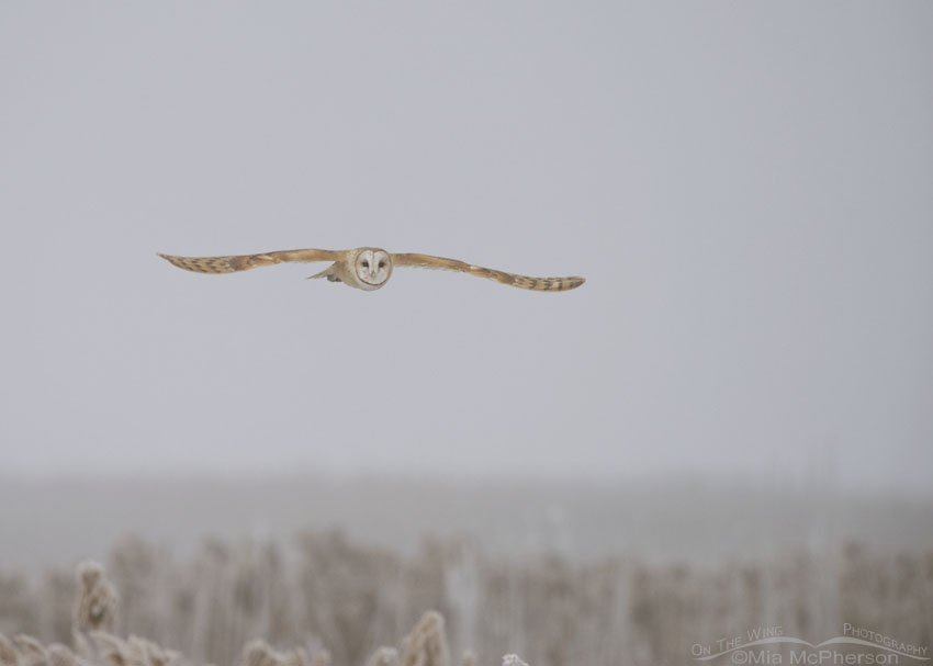 Foggy, snowy Barn Owl in flight