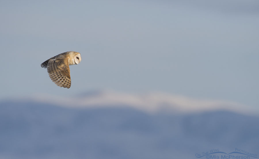 Barn Owl in flight with snowy mountains