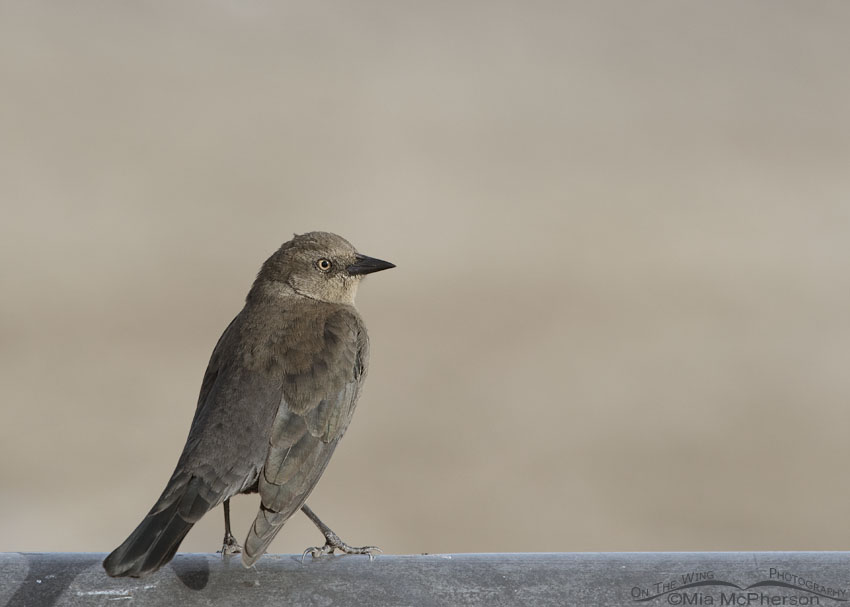 Female Brewer's Blackbird with light eyes