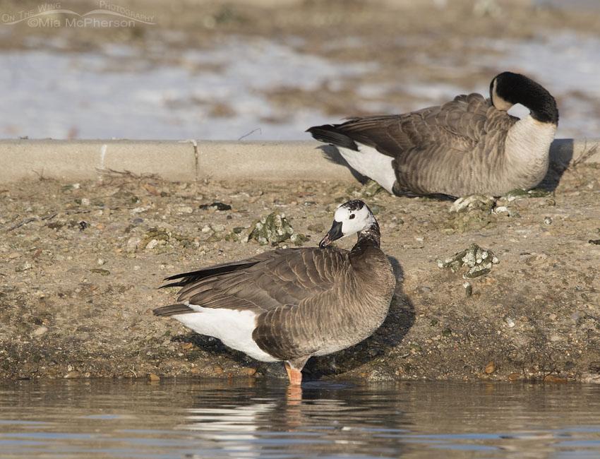 Preening Canada x Snow Goose hybrid