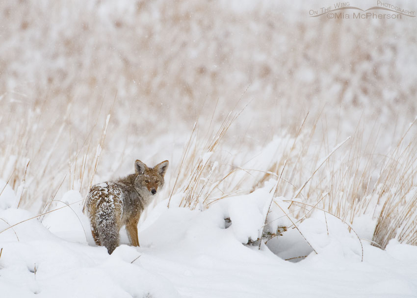 Coyote hunting in a November snow storm