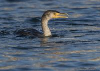 Double-crested Cormorant after surfacing from a dive