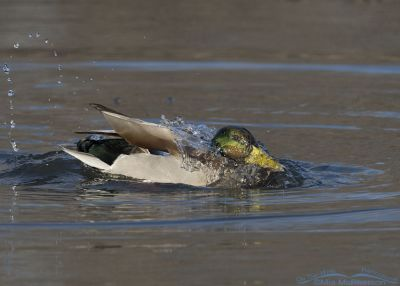 Drake Mallard bathing and splashing