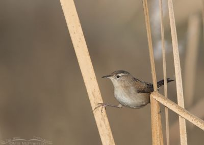 Marsh Wren splits on cattails