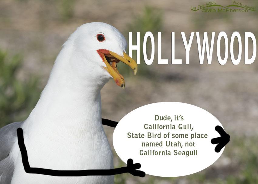 Dude, it's California Gull