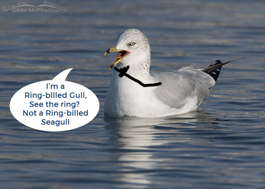 Not a Ring-billed Seagull