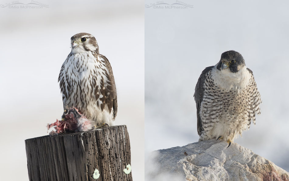 Prairie and Peregrine Falcon Comparison