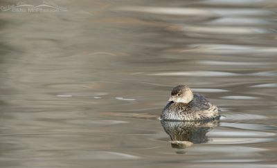 Pied-billed Grebe on silky water