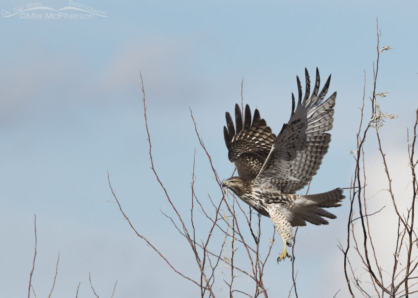 Immature Red-tailed Hawk taking flight in northern Utah