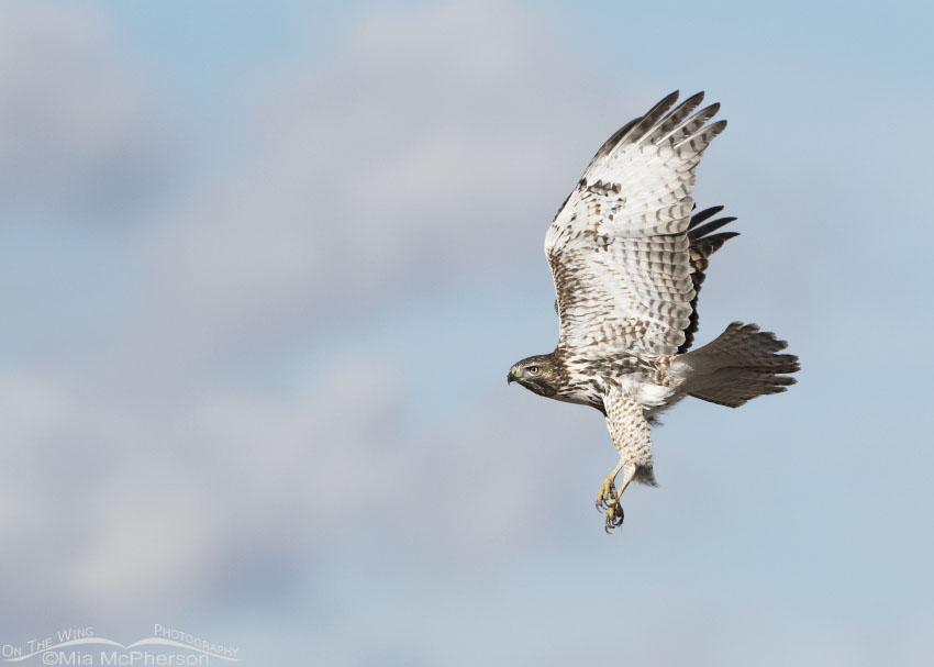 Immature Red-tailed Hawk in flight with a pastel colored sky