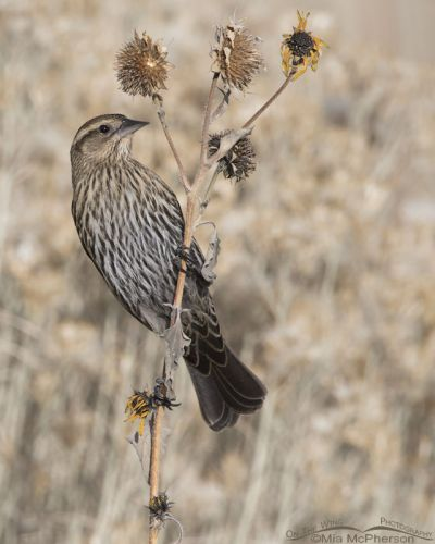 Female Red-winged Blackbird on a wild sunflower stalk