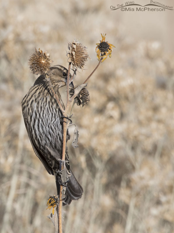 Peeking female Red-winged Blackbird