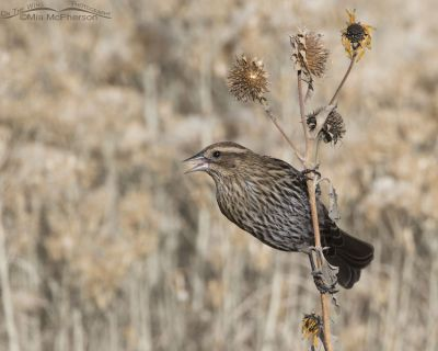 Female Red-winged Blackbird eating wild sunflower seeds
