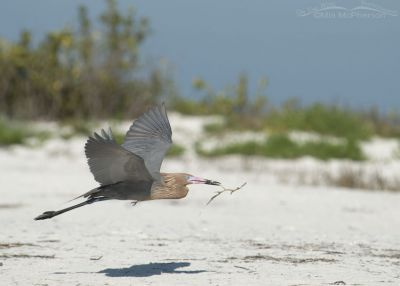 Dark morph Reddish Egret in flight with nesting material