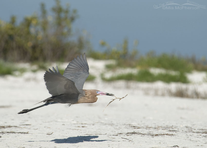 Dark morph Reddish Egret in flight with nesting material