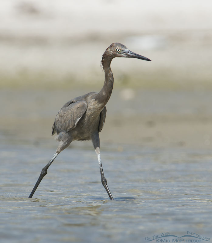 Immature Reddish Egret in shallow water