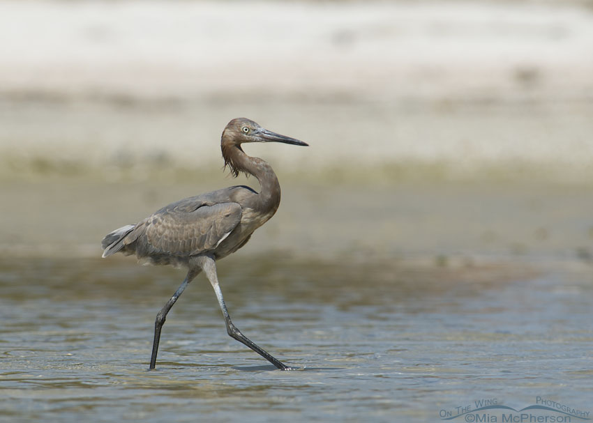 Immature Reddish Egret at Lassing Park