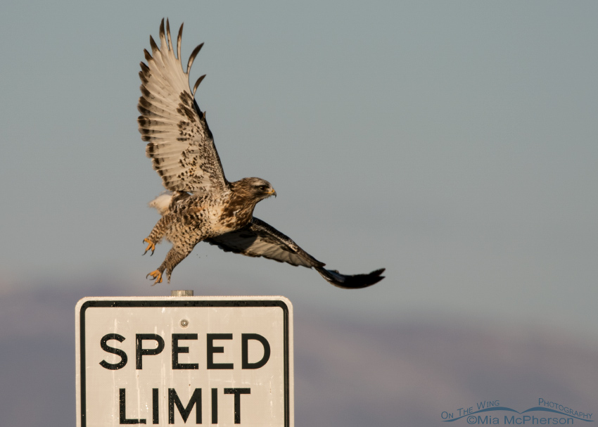 Male Rough-legged Hawk showing its feathered legs (tarsi)