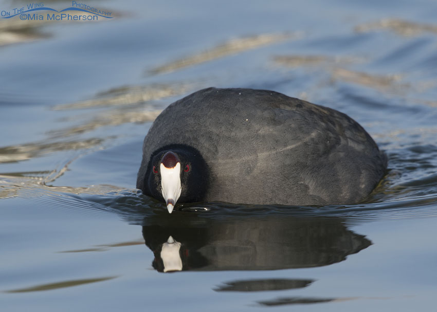 American Coot exhibiting patrolling behavior