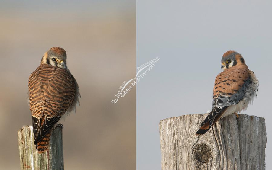 Female and Male American Kestrel Comparison