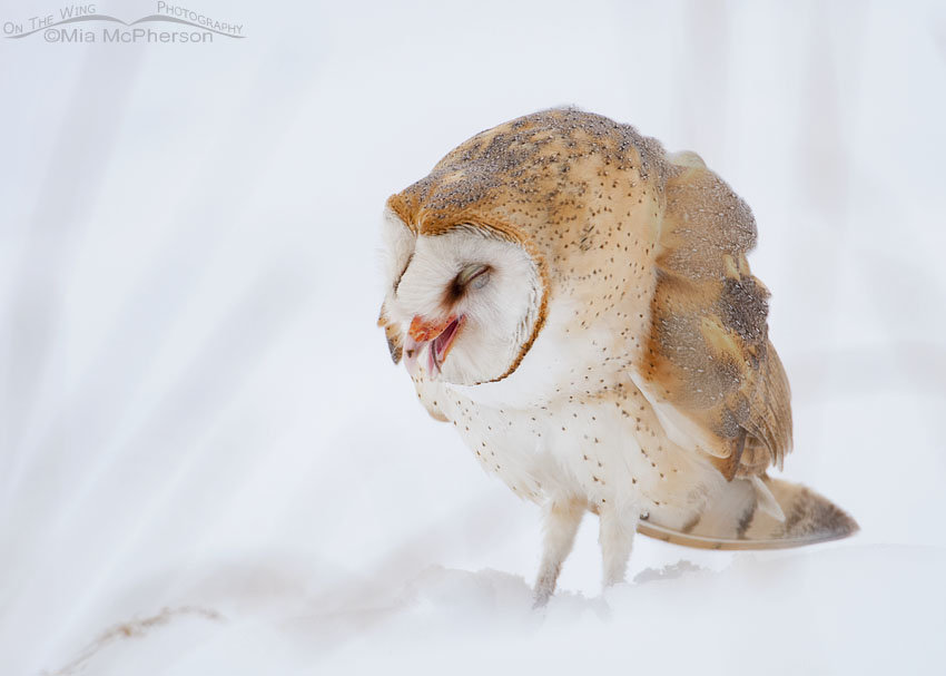 Barn Owl swallowing a vole