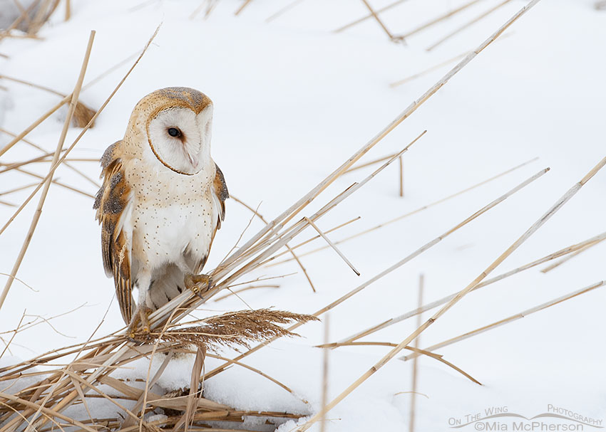 Barn Owl in a snow-covered marsh