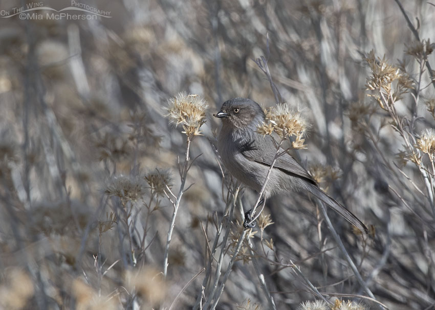 Female Bushtit in Ophir Canyon