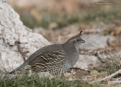 California Quail female foraging