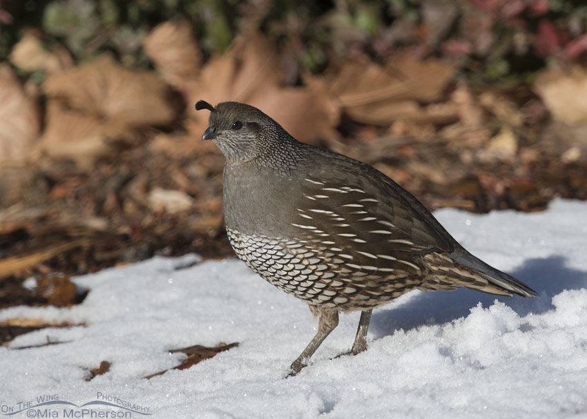Female California Quail standing in snow