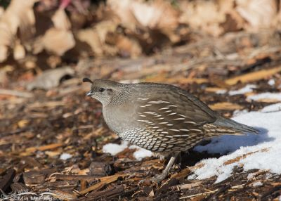Winter California Quail female