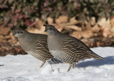 Pair of California Quail females