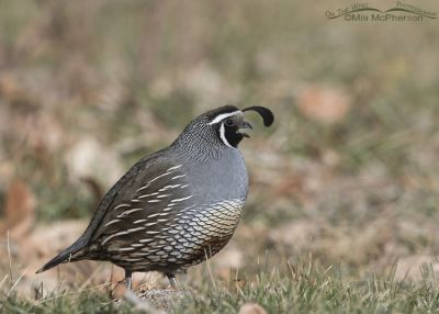 Calling male California Quail