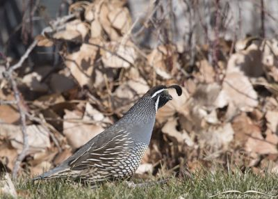 California Quail calling as he walks by
