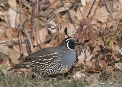Male California Quail foraging