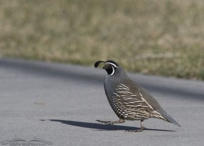 Male California Quail crossing a sidewalk