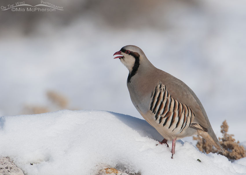 Chukar calling in the snow on a bright winter day